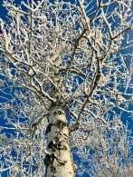 Frost clings to every branch on this poplar tree.