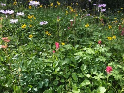 Love the way so many types of flowers can grow together in an alpine meadow.