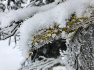 Frost crystals form, in square cubes on the yellow lichen on this branch.