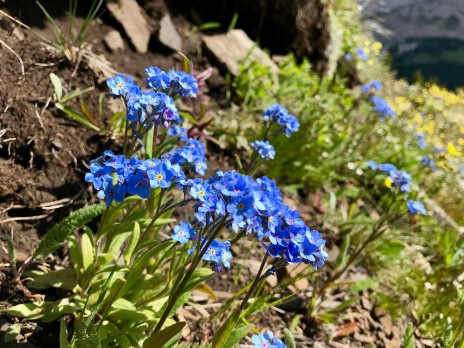 Forget me nots are my favourite alpine flower!